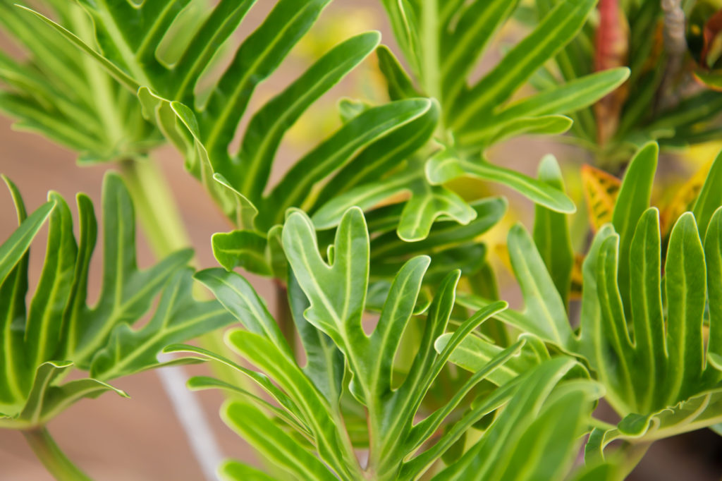 Philodendron for cleaning indoor air