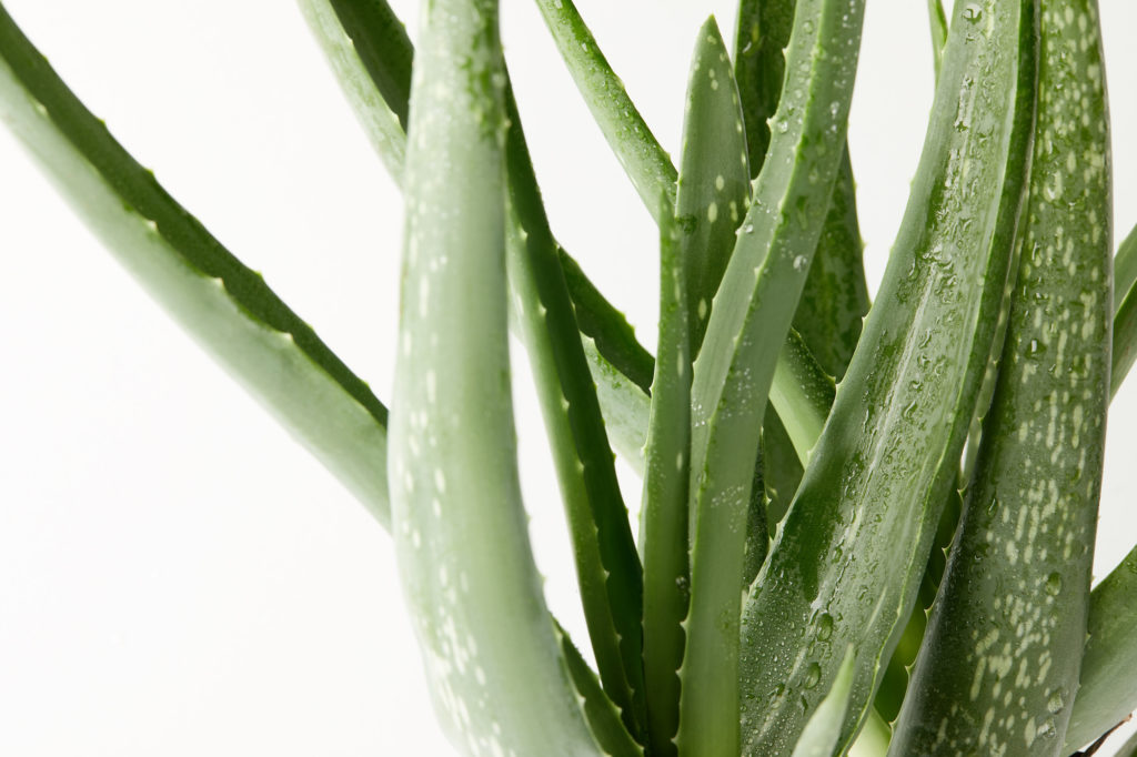 aloe vera plant for cleaning indoor air