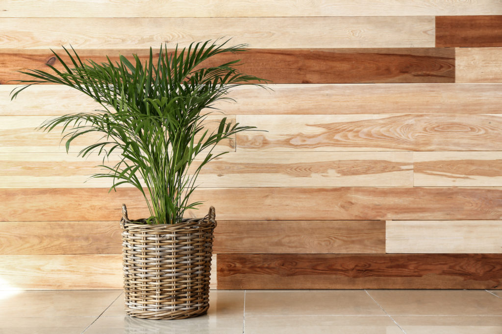 Areca palm for cleaning the air
