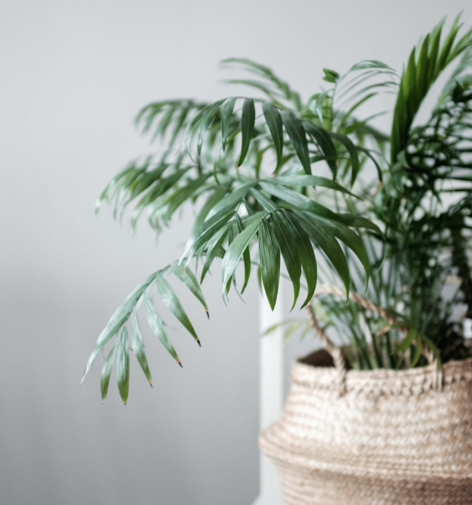 bamboo palm for cleaning indoor air