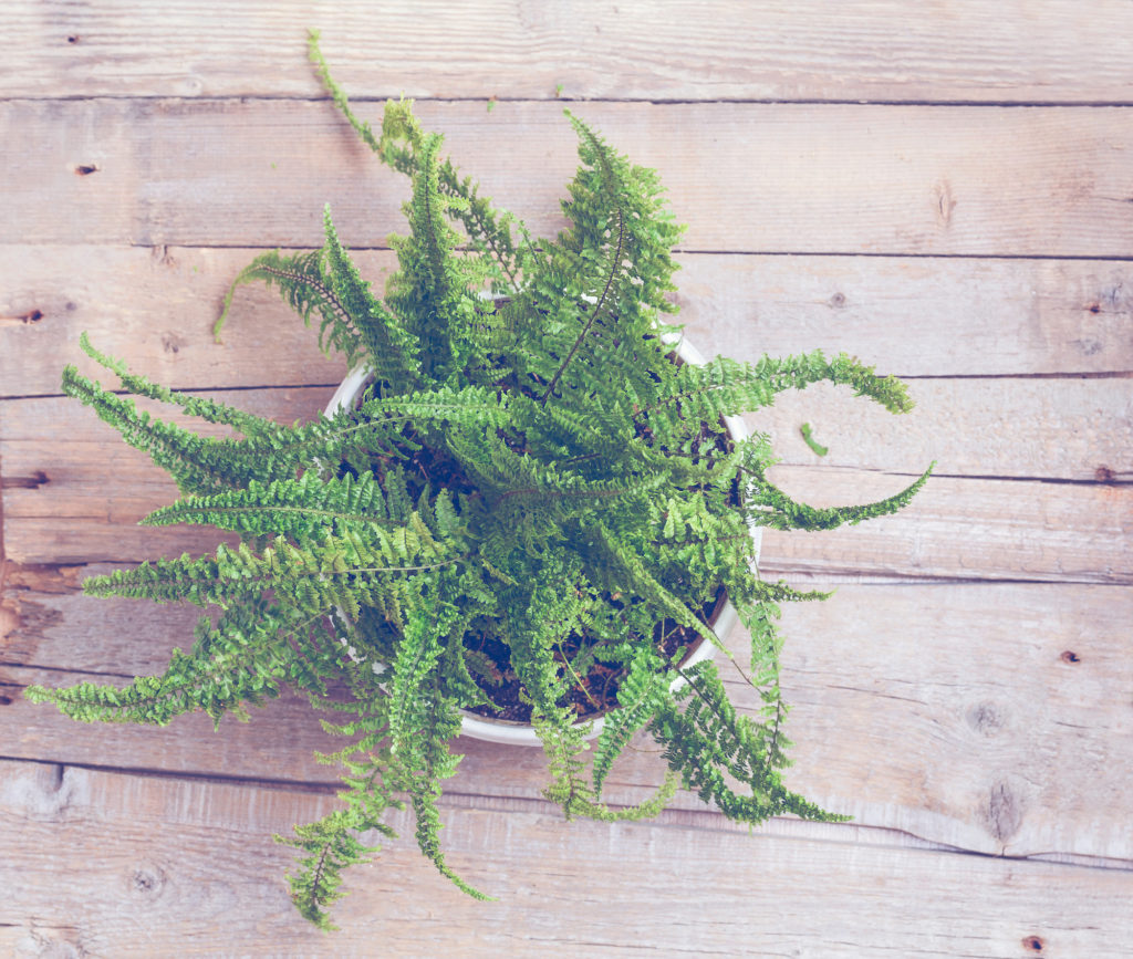 boston fern for cleaning the air
