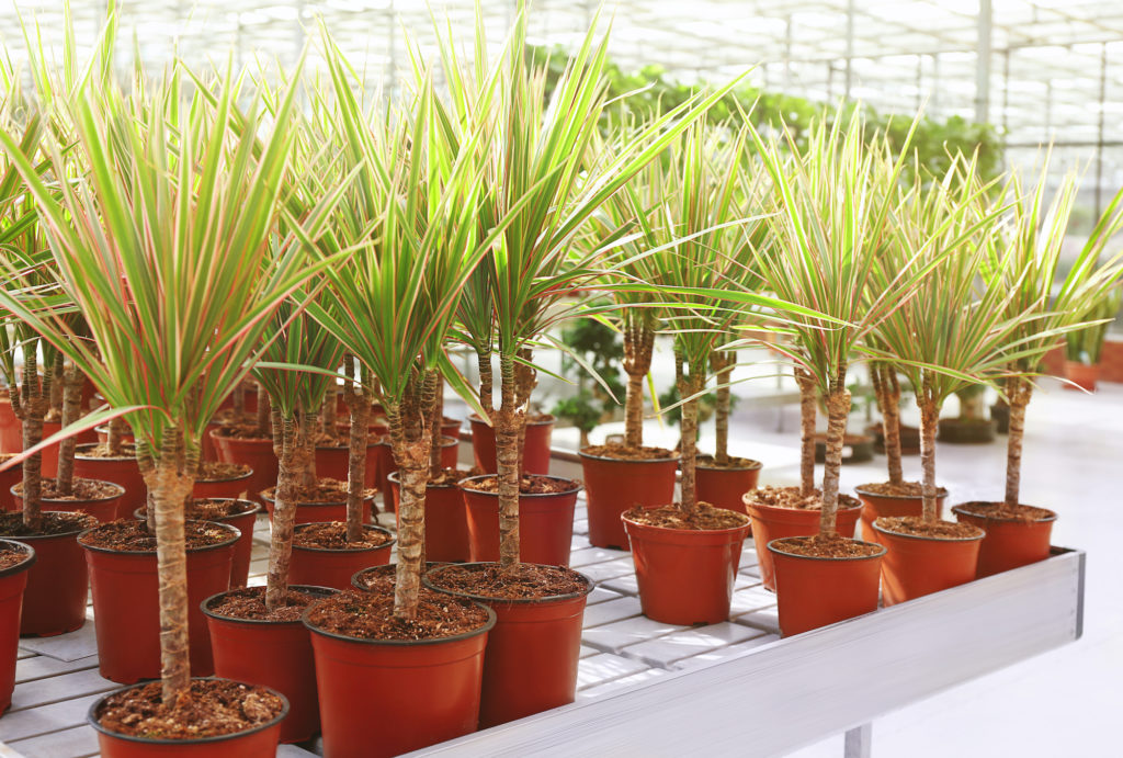 dracaena plant for cleaning the air