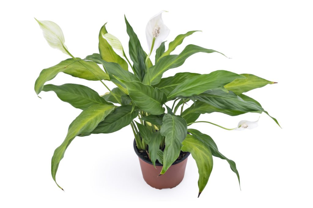 peace lily for cleaning the air