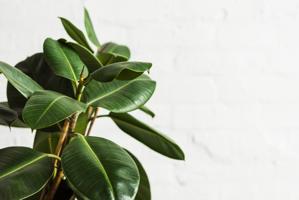 rubber plant for cleaning indoor air