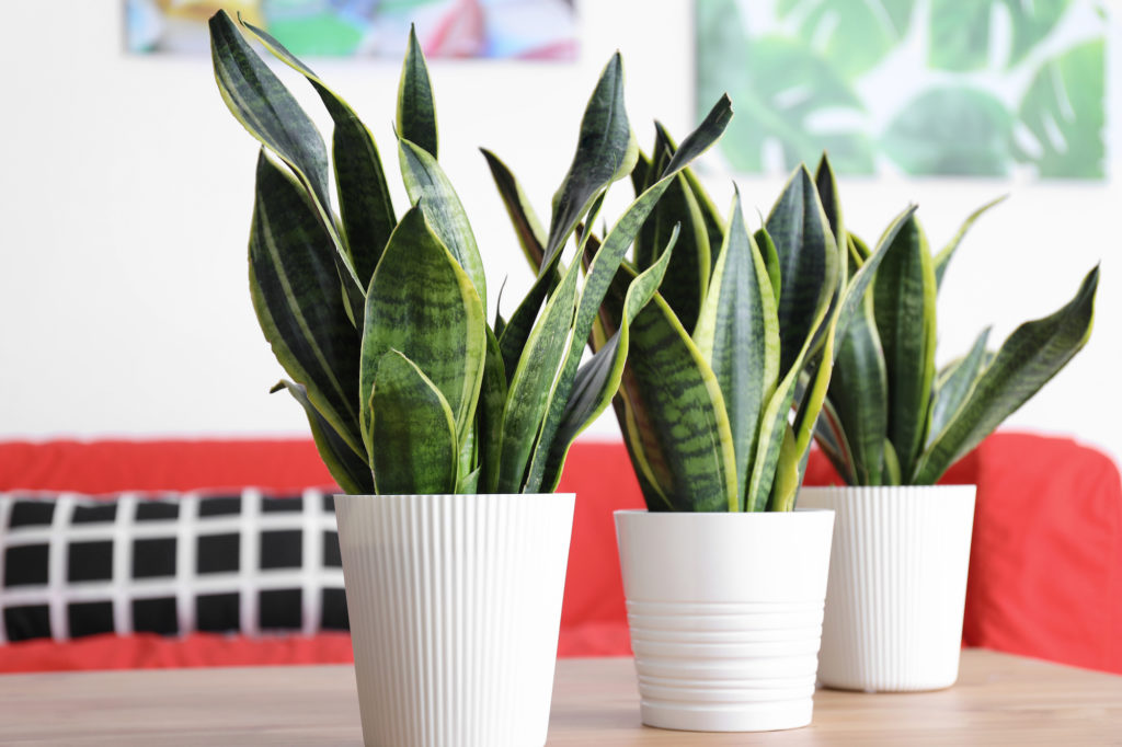 snake plant for cleaning indoor air