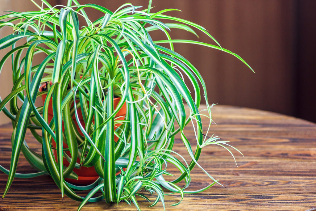 spider plant for cleaning the air